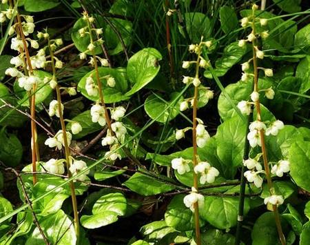 растение Боровая матка от миомы матки